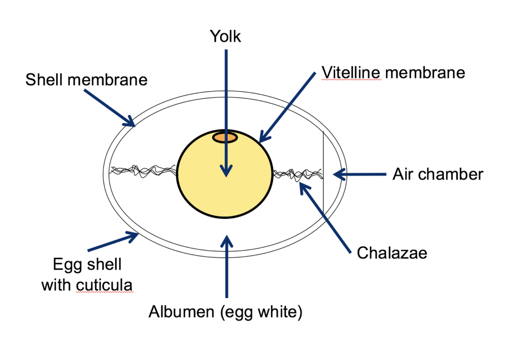 Formasi telur ayam
