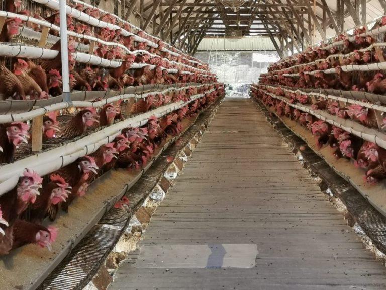 biosecurity ayam petelur