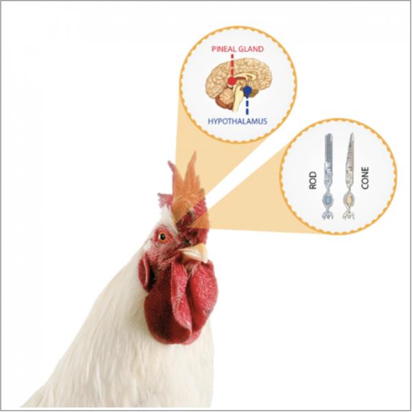 Cara ayam menangkap cahaya