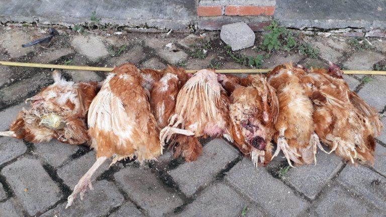 prolapsus ayam petelur